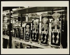 View of specimens in jars, Department of Anatomy, Washington University School of Medicine.