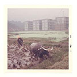Man plowing a paddy field with an ox, Taipei, Taiwan.