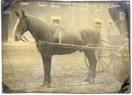 "Dr. Gustav Baumgarten's horse ""Billy,"" a doctor's horse for 18 years."