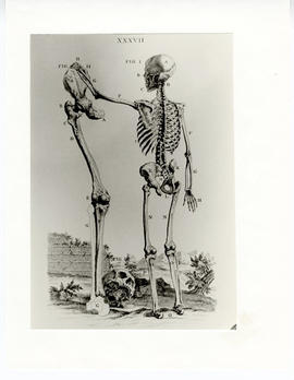 "Page from ""Osteography or the Anatomy of the Bones,"" depicting a human skeleton."