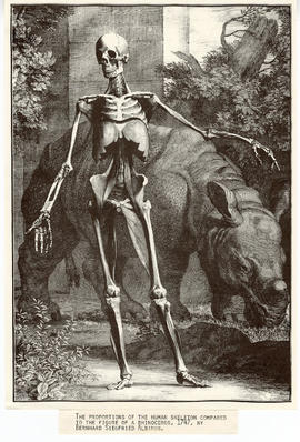 Engraving depicting the proportions of a human skeleton compared to the figure of a rhinoceros by...