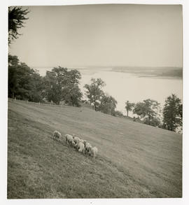 View of grounds and herd of sheep at the home of Vilray P. Blair.